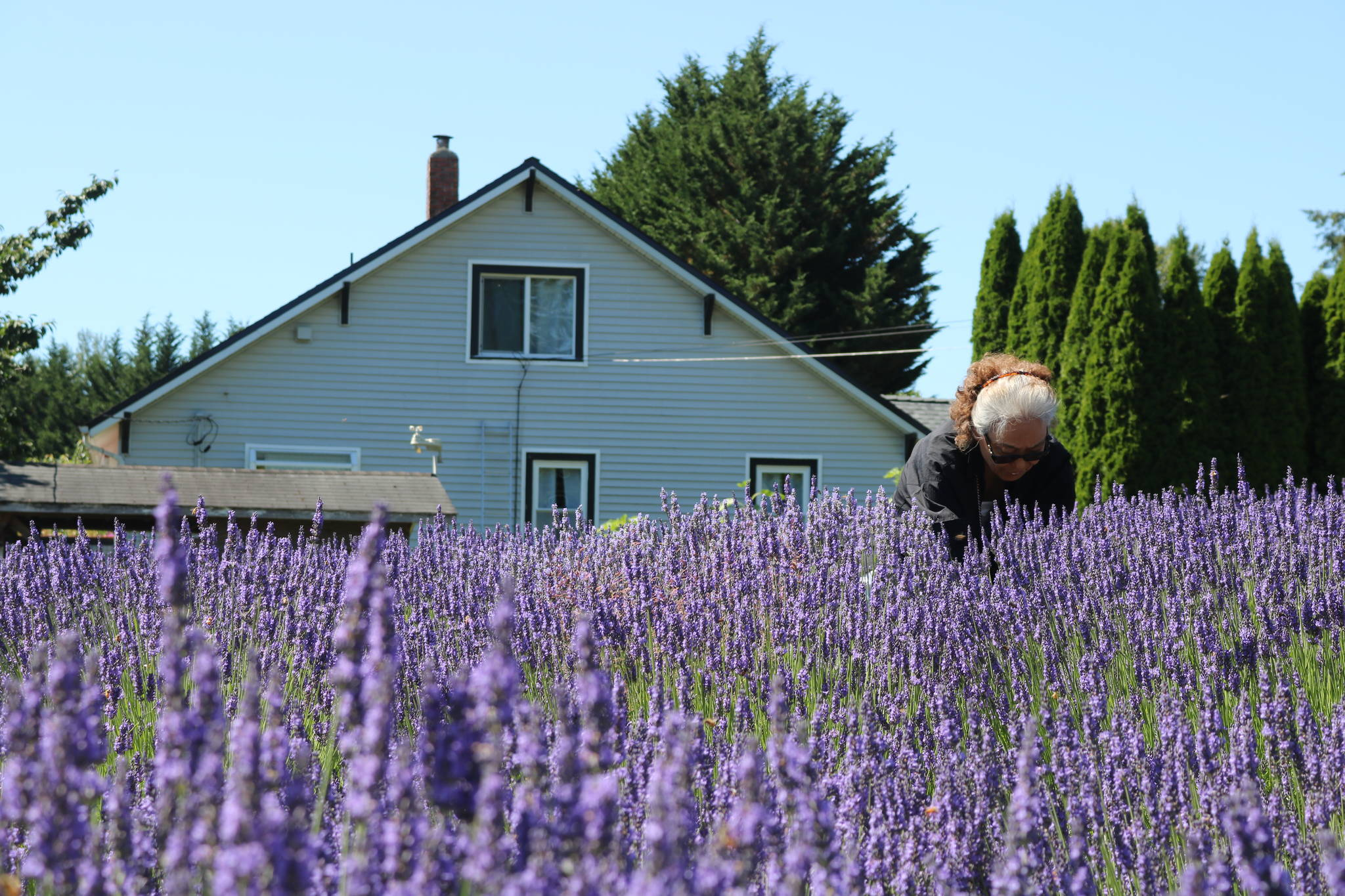 A woman gathers flowers at Snofalls Lavender Farm outside Fall City on July 18, 2020. Aaron Kunkler/staff photo